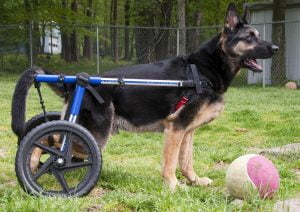 german shepherd suffering from arthritis