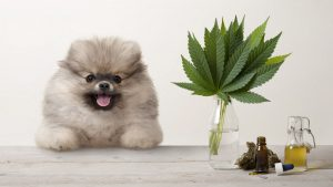 Dog Leaning on the Surface with CBD Oil and Hemp Leaves