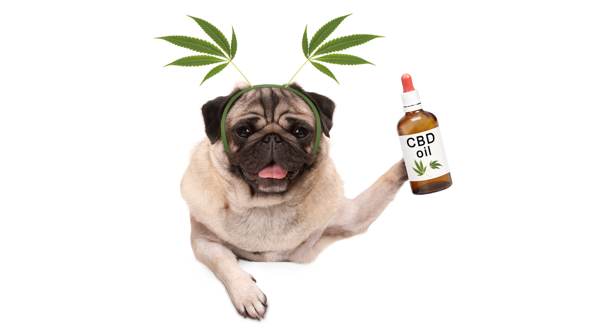 Dog Holding CBD Oil Bottle with Hemp Leaves on his Ears