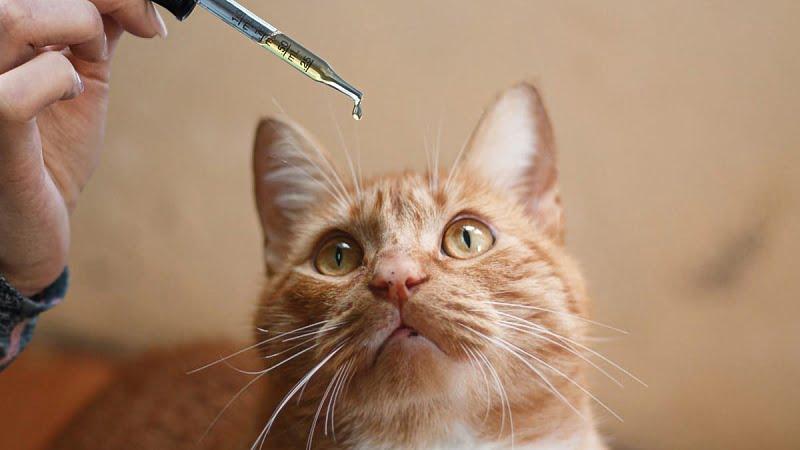 Cat staring at the CBD oil dropper
