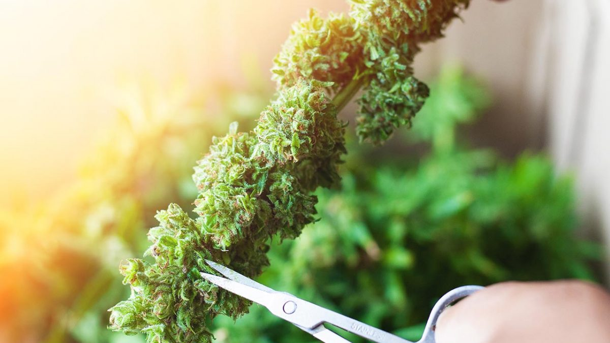 Hemp Plants Trimmed from Harvest for Processing