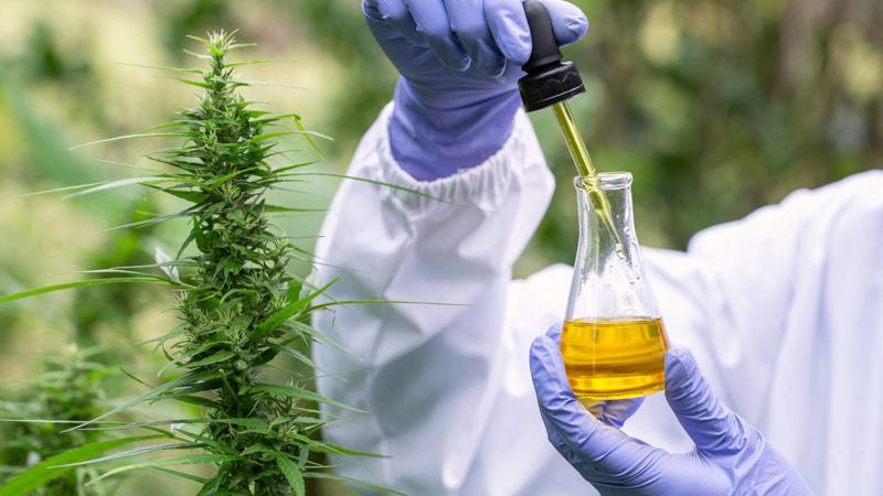 Researcher Examine CBD Oil Effects on the Brain in the Hemp Field
