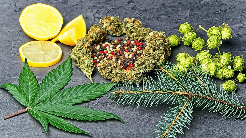 CBD bud and leaf with hoppy, pepper, lemons and fir needles