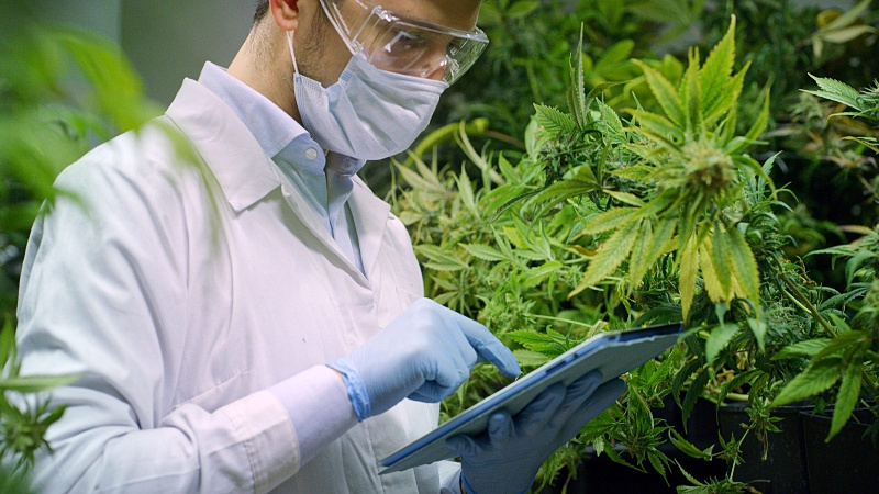 a scientist using a tablet with hemp plants around him