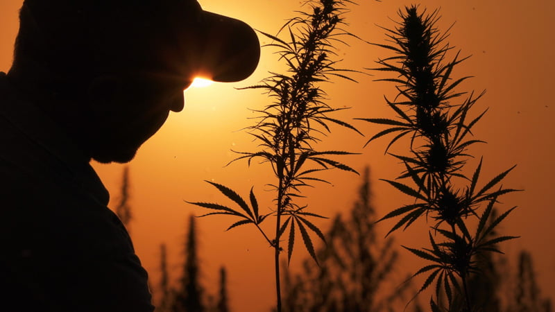 Person Beside Hemp Plant in a Sunset Background