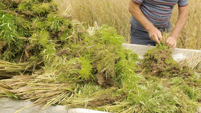 Harvest of Hemp Plants from the Field